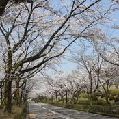 キャンパス内 桜満開