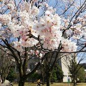 太陽が丘キャンパスの桜が見ごろ